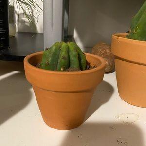 San Pedro cactus small plant